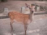 A Nara Deer!