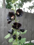 Botanical Gardens - Black Flower!