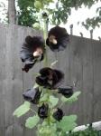 Botanical Gardens - Black Flower!