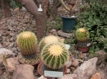 Botanical Gardens - Golden Barrel Cacti