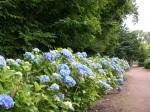 Botanical Gardens - Hydrangea