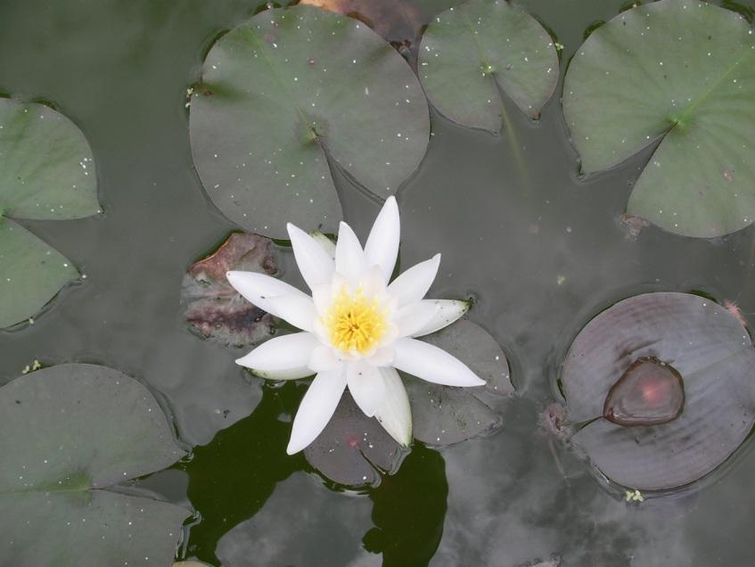 Botanical Gardens - Water Lily
