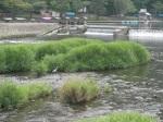 Crane in the River, Arashiyama