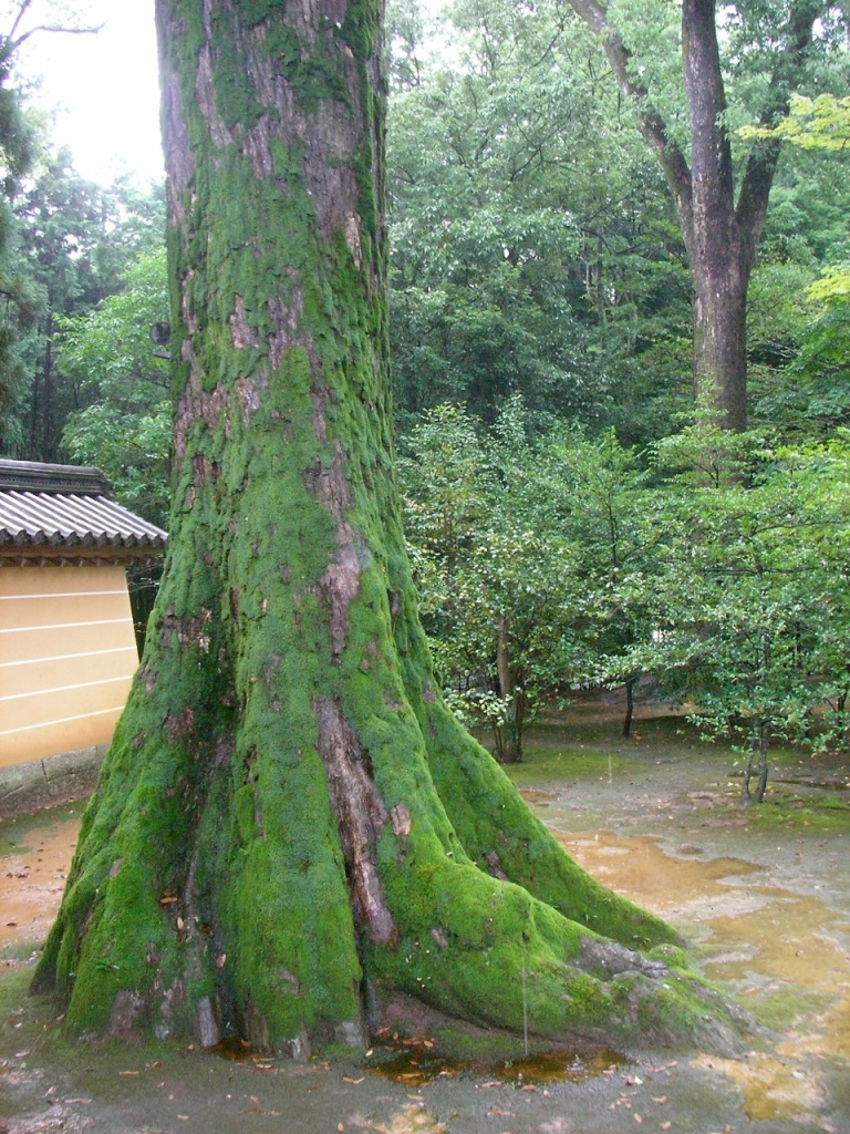 Kinkakuji Shrine Grounds - Mossy Tree