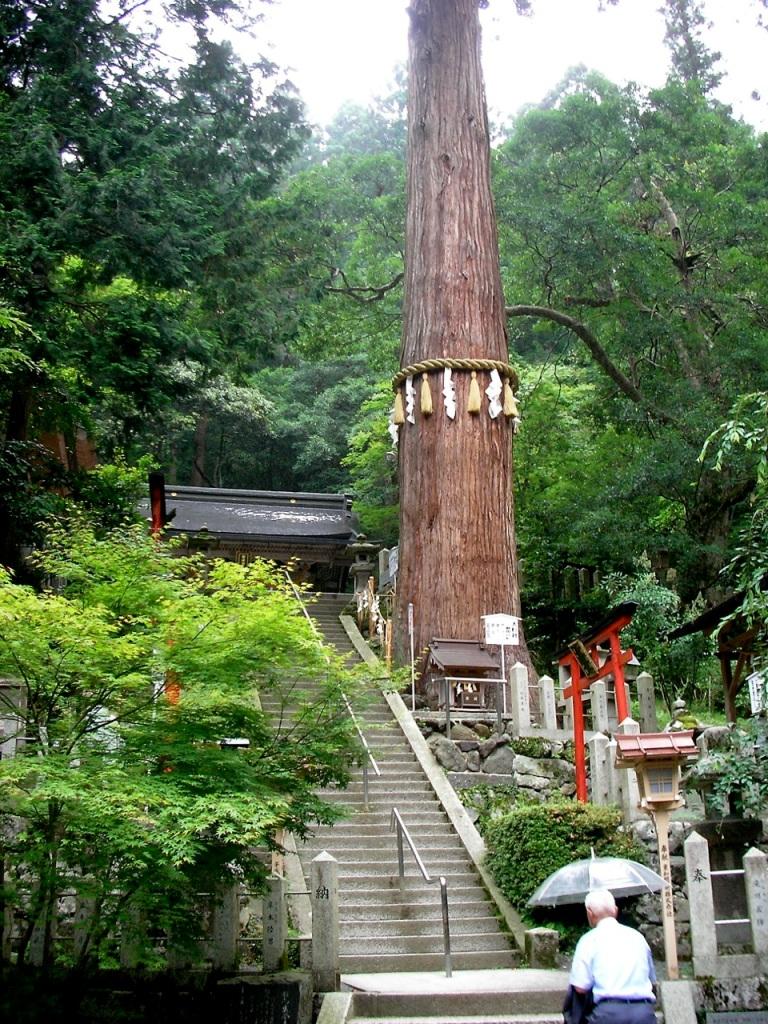 Kurama-dera Sacred Tree