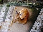 Miyajima Stroll - Deer