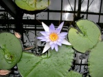 Botanical Gardens - Greenhouse Water Lily